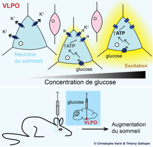 Cerebral glucose is directly detected by sleep-promoting neurons in VLPO. Glucose catabolism in neurons induces and increased production of ATP. The ATP inhibits some potassium channels, leading to an excitation of neurons. The molecular mechanism could explain the hypnogenic effects of the injection of glucose in a mouse VLPO.