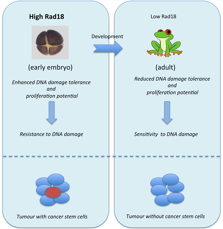Schematic representation of resistance to DNA damage induced by high Rad18 abundance. Upper panel. During developemnt Rad18 abundance decreases and cells loose their ability to resist to DNA damage treatments. Lower panel. Increased expression of Rad18 in glioblastoma cancer stem cells (red cells) contributes to the resistance to the therapy involving DNA damaging agents.
