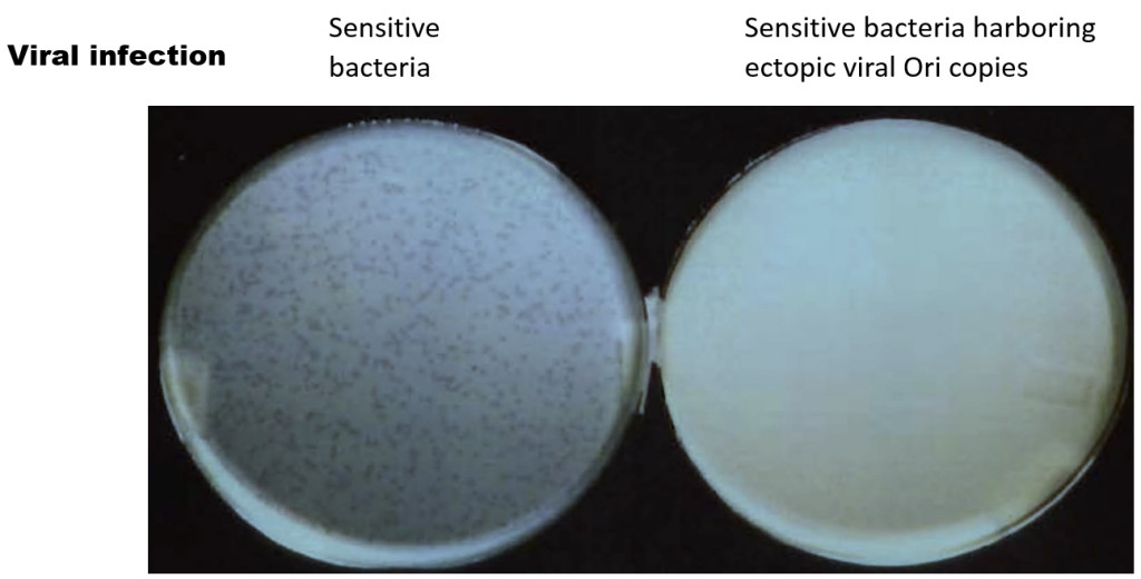 Fig. 1. λ infection of E.coli on agar plates. About 1000 λ particles were tittered on agar plates containing either naive (left plate) or bacteria containing ectopic λOri copies (right plate)