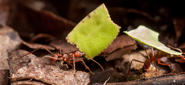 "Fig. 1. In tropical forests, leaf-cutter ants are widely known as harvesters of leaf material, but the ants do not actually eat any of the leaf tissue. They bring the leaf material into their nest and incorporate it into a ""fungus-garden."" This garden is a massive fungus that eats lots of leaves, and in return, produces fruiting bodies that are collected and fed to the ant larvae. Thus, the entire ant colony is supported by the flesh of a single fungus. Photo courtesy Don Parsons."