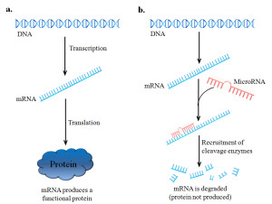 Fig. 1. MicroRNAs function by blocking mRNA translation into protein. Part a.) illustrates how a gene is normally expressed, first through transcription into mRNA, followed by translation into a protein, the functional product of the gene. In b.) the role of MicroRNA-mediated inhibition is shown. Following production of a mRNA, microRNA's which specifically target the mRNA will bind to one end of the target molecule. The formation of this mRNA-miRNA complex will then recruit cellular machinery which will then degrade an mRNA before it can be translated into a protein.