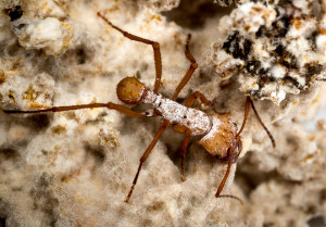 Fig. 2. Adult ants maintain cultures of white bacteria on their exoskeletons. These bacteria slough off and get sprinkled around the fungus-garden where they serve as a defense against invading fungi. Here, there is a food-for-protection trade-off between the bacteria and the ants. In exchange for protecting the fungus-garden from invaders, the bacteria literally feed on the ants. Within the fungus-garden community, there are four discrete trophic levels: 1) plant material, 2) the herbivorous fungus, 3) the ants that feed on the fungus, and 4) the bacteria that feed on the ants. Photo courtesy Don Parsons.