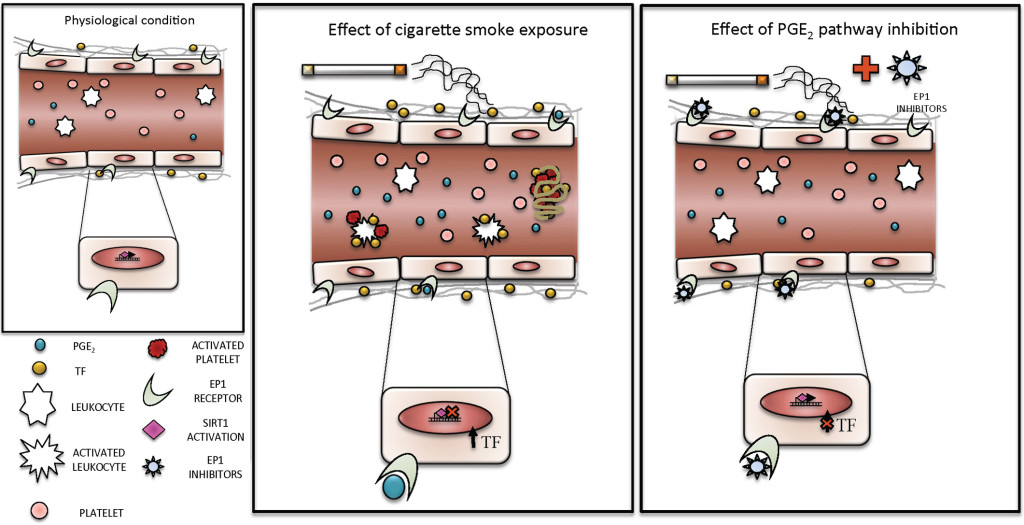 Fig. 1. Effect of cigarette smoke and EP1 receptor inhibitors on blood and endothelial cells. Exposure to cigarette smoke promotes the increase of circulating levels of PGE2 and TF. PGE2 binds its specific receptor (EP1) on endothelial cells, blocks the activity of SIRT1 and consequently induces the increase of TF expression and activity. The pre-treatment with specific inhibitors of EP1 receptor restores physiolgical conditions.