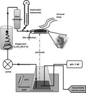 Schematic representation of an ex vivo liver system designed for the experiments.