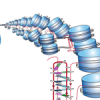 Human centromeric DNA is able to form quadruplex helices