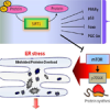 ER stress: a new molecular target to treat hyperglycemia-induced vascular damage