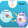 Nucleus-targeted anticancer drug delivery