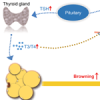 Liver X receptor beta, the link between thyroid hormone regulation and the browning of white fat