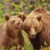 Brown bear habitat selection personality