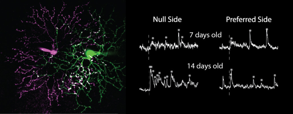 Fig. 1. Direction selective ganglion cell (green) and inhibitory neuron (magenta) with potential sites of inhibitory synapses (white). Right: Voltage clamp recordings from direction selective ganglion cell after stimulation of inhibitory neurons (dotted line). Synaptic currents are indicated by *, which increase in number during development when stimulating from the null side.