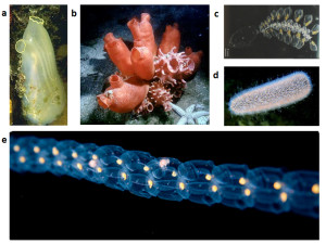 Fig. 2. Ascidians and thaliaceans have divergent morphologies. Examples of adult ascidians ( a phlebobranch in (a) and a group of stolidobranchs in (b) ) and thaliaceans (a doliolid colony in (c), a pyrosome colony in (d) and a salp colony in (e).