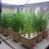 A platform for measuring carbon and nitrogen levels of metabolism-related genes in durum wheat
