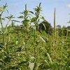 GM herbicide-tolerant crops, weedkillers, and resistant weeds:  overview and interplay