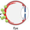 From the gut to the eye: commensal microbes as potential triggers of autoimmune uveitis