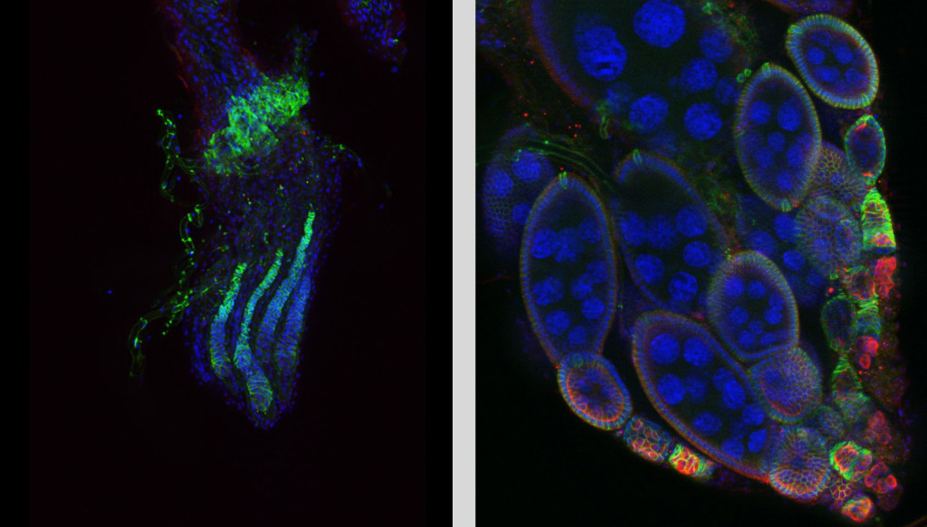 Fig. 1. Defective ovary of dysgenic flies. Germ cells and eggs absent. Cell nucleus are blue, green colored somatic cells (left). Normal ovary with developing eggs. Germ cells are red (right).