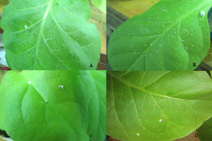 Fig. 1. Solenopsis mealybug feeding on tobacco leaves. Uninoculated (-ve control) (A); inoculated with PVX lacking CHS (PVX-control) (B); inoculated with PVX containing CHS (C and D).