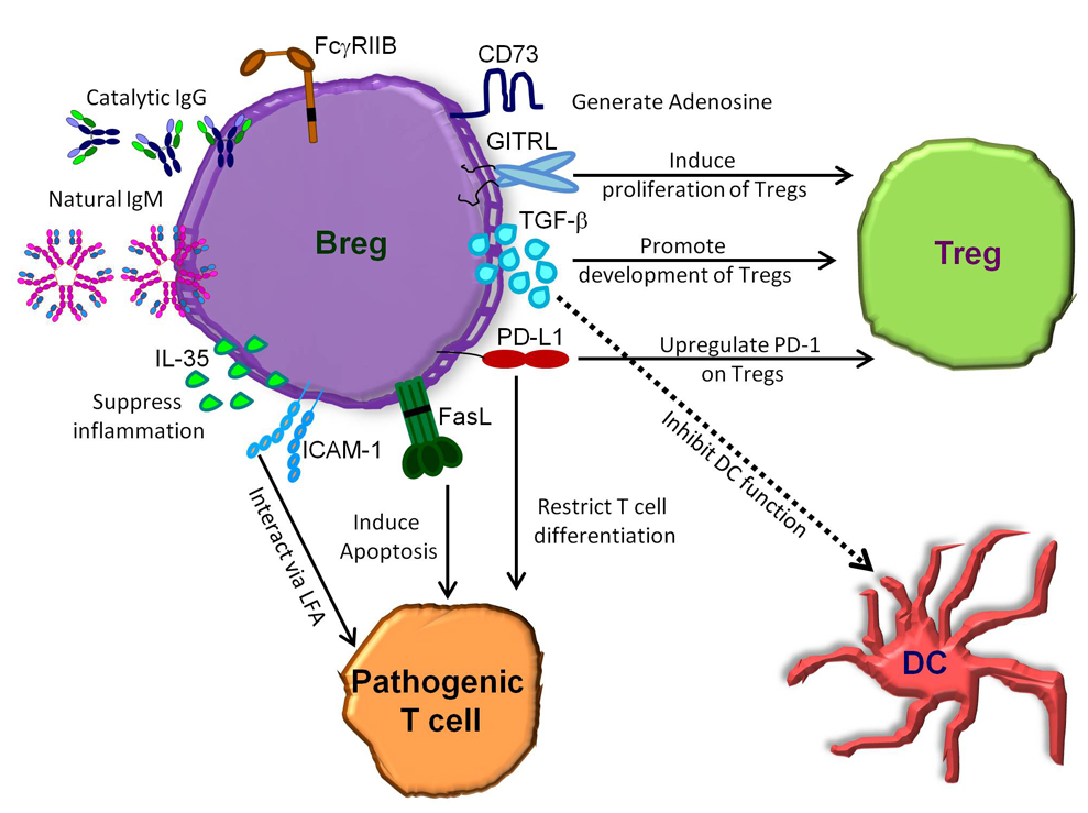Fig. 1. IL-10-independent mechanisms of Breg function. Breg suppress the function of pathogenic T cells via IL-35, ICAM-1/LFA-1 or FasL. Breg generation of TGF-β is thought to inhibit the function of both dendritic cells and induce Treg. Breg also modulate Treg by inducing their proliferation with GITRL and inhibiting their function with PD-L1, which also restricts pathogenic T cell differentiation. Breg have also been shown to generate inhibitory adenosine and can modulate immune responses through Ig via their expression of FcγRIIB, catalytic IgM and natural IgM. Abbreviations. Breg: Regulatory B cell; DC: Dendritic cell; FasL: Fas ligand; GITRL: Glucocorticoid-induced TNF receptor ligand; ICAM-1: Intercellular adhesion molecule 1; Ig: Immunoglobulin; LFA: Lymphocyte function-associated antigen; PD-1: Programmed cell death protein 1; PD-L1: Programmed death-ligand 1; TGF-β: Transforming growth factor β and Treg: Regulatory T cell.