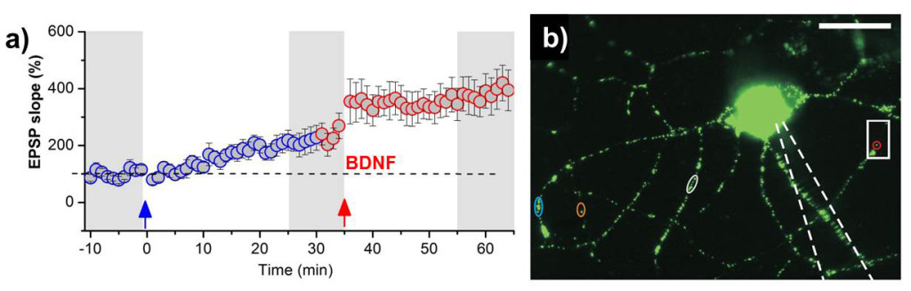 "Fig. 1. a) Recording of synaptic strength (i.e. ""EPSP slope"") vs. time induced by a single shock STDP protocol (blue) and a theta burst STDP pattern (red), respectively. Both types of synaptic plasticity coexist and can be induced subsequently in the same pair of synaptically connected neurons in the hippocampus. Both STDP stimulation protocols lead to different types of synaptic strengthening (LTP) in hippocampal neurons. However, theta burst STDP leads to secretion of BDNF that generates LTP, whereas the single shock LTP occurs independent of BDNF release and action. b) Hippocampal neuron containing fluorescently labelled BDNF (green) in the processes of the postsynaptic cell. Colored regions of interest show BDNF containing vesicles which are secreted by theta burst STDP stimulation."