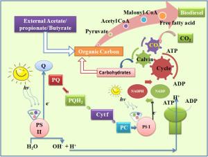 Fig. 1. Lipid metabolism in algae.
