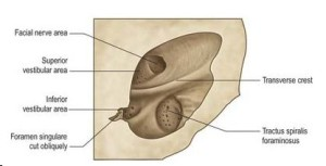 Fig. 2. Left internal acoustic meatus from Grays Anatomy with permission from Elsevier Publishing Co.