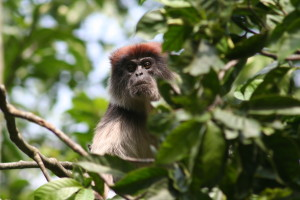 A male red colobus monkey