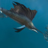 Sailfish: the fastest fish in the world?