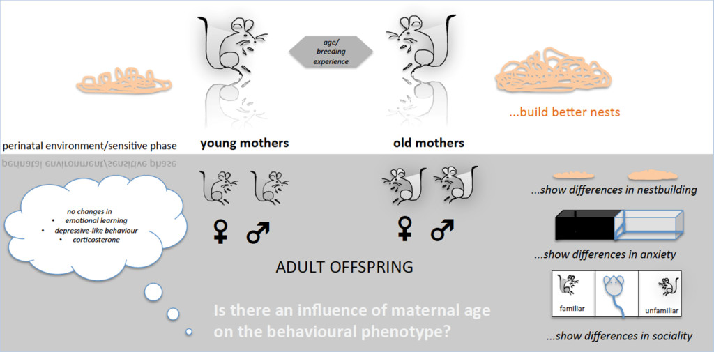 Fig. 1. Maternal age matters. Offspring demonstrates differences in emotional behaviour.