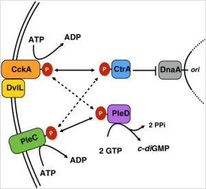 Model for interaction of cell-cycle regulatory proteins in Wolbachia. Interaction of sensor kinases and response regulators for most strains investigated in this study. Arrows indicate the predominant direction of signaling or substrate flow. CtrA output is represented as the inhibition of chromosome replication only.