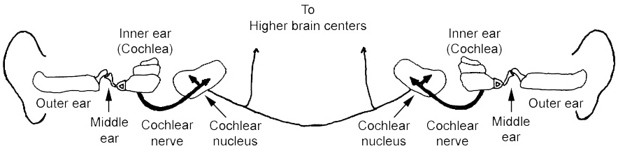 Fig. 1. Hearing system, from ears to cochlear nuclei.