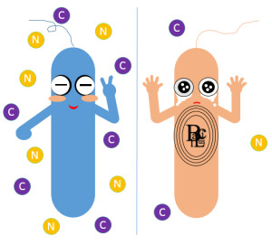 A diagram showing the bacteria without and with endospore