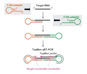 Fig. 1. Schematic representation of Db-PCR.