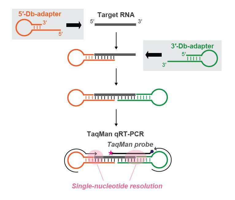 fig 1 schematic representation of db pcr