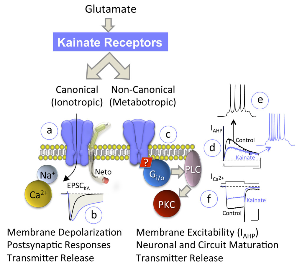 Kainate receptors signal through two different and independent pathways. On the one hand, the gating of the channel (canonical pathway - a) is responsible for membrane depolarization and the synaptic responses (b), and probably for the facilitation of neurotransmitter release at some synapses. On the other hand, KARs activate G proteins (c), signaling through the stimulation of phospholipase C and PKC in a manner independent of ion flux. The main effects so far documented are: the increase in neuronal excitability through the inhibition of afterhypopolarizing current (IAHP - d), leading to an increase in the firing frequency of these neurons (e); the facilitation and inhibition of transmitter release, probably through the modulation of calcium currents (ICa2+ - f); and their role in the maturation of neuronal circuits during development. How an ion channel gets coupled to a G protein is unresolved.