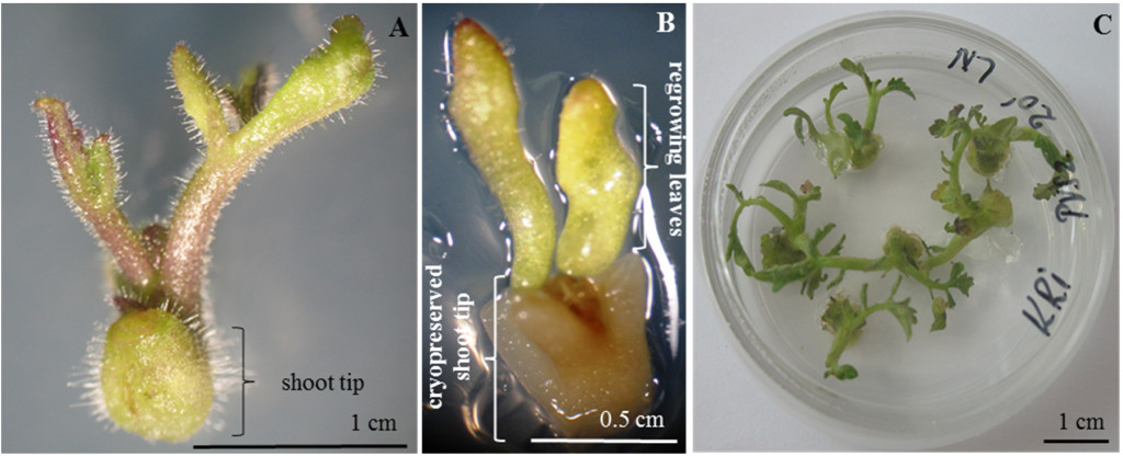 (A)Non-cryopreserved (control) tomato shoot tip with leaves; (B) Cryopreserved shoot tip with regrowing leaves; (C) Tomato plants grown from cryopreserved shoot tips