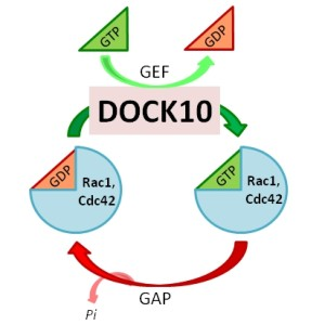Fig. 1. The role of Dock10 as a GEF in the cycle of Rho GTPases Cdc42 and Rac1.