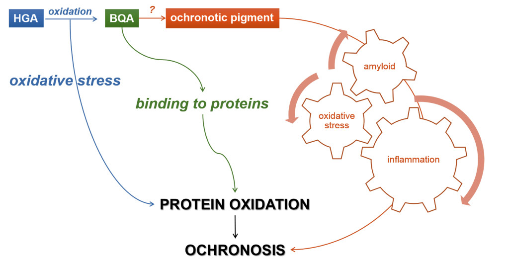Fig. 1. Hypotheses on AKU mechanisms: HGA-induced oxidative stress, inflammation and amyloid production contributing to protein oxidation and aggregation, possibly leading to ochronosis in AKU.