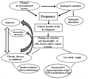 Fig. 1. Schematic representation of the influence of adverse events occurred in utero on the progression of metabolic diseases in offspring.