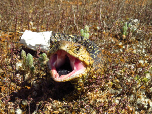 Fig. 1. A threat display of a sleepy lizard (Tiliqua rugosa). It's GPS pack can be seen on the background