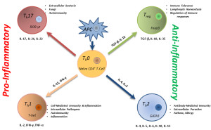 Fig. 1. Functional status of T lymphocytes.