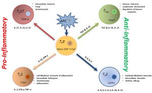Fig. 1. Functional status of T lymphocytes.