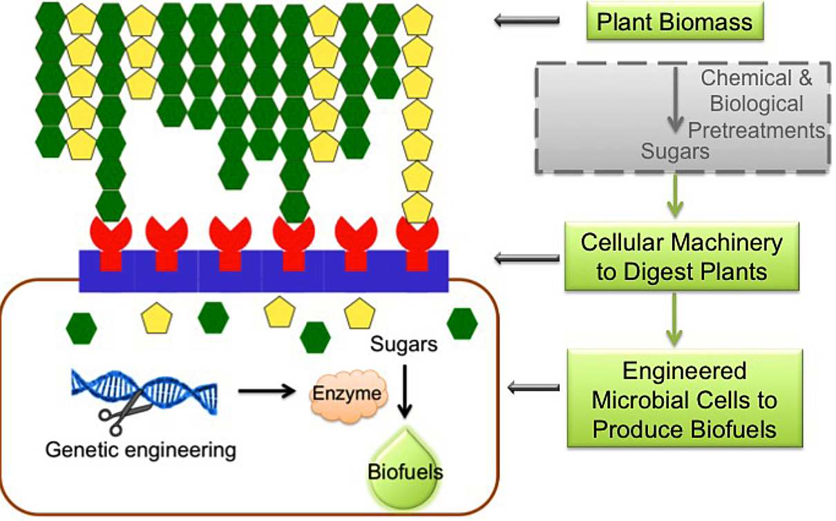 Generation of a microbial factory for direct biofuel