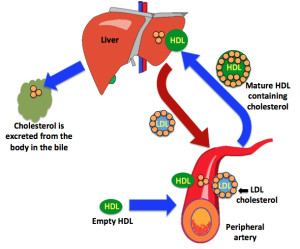 Reverse cholesterol transport pathway HDL picks up cholesterol deposited in peripheral tissues and transports it to the liver to be excreted from the body in the bile