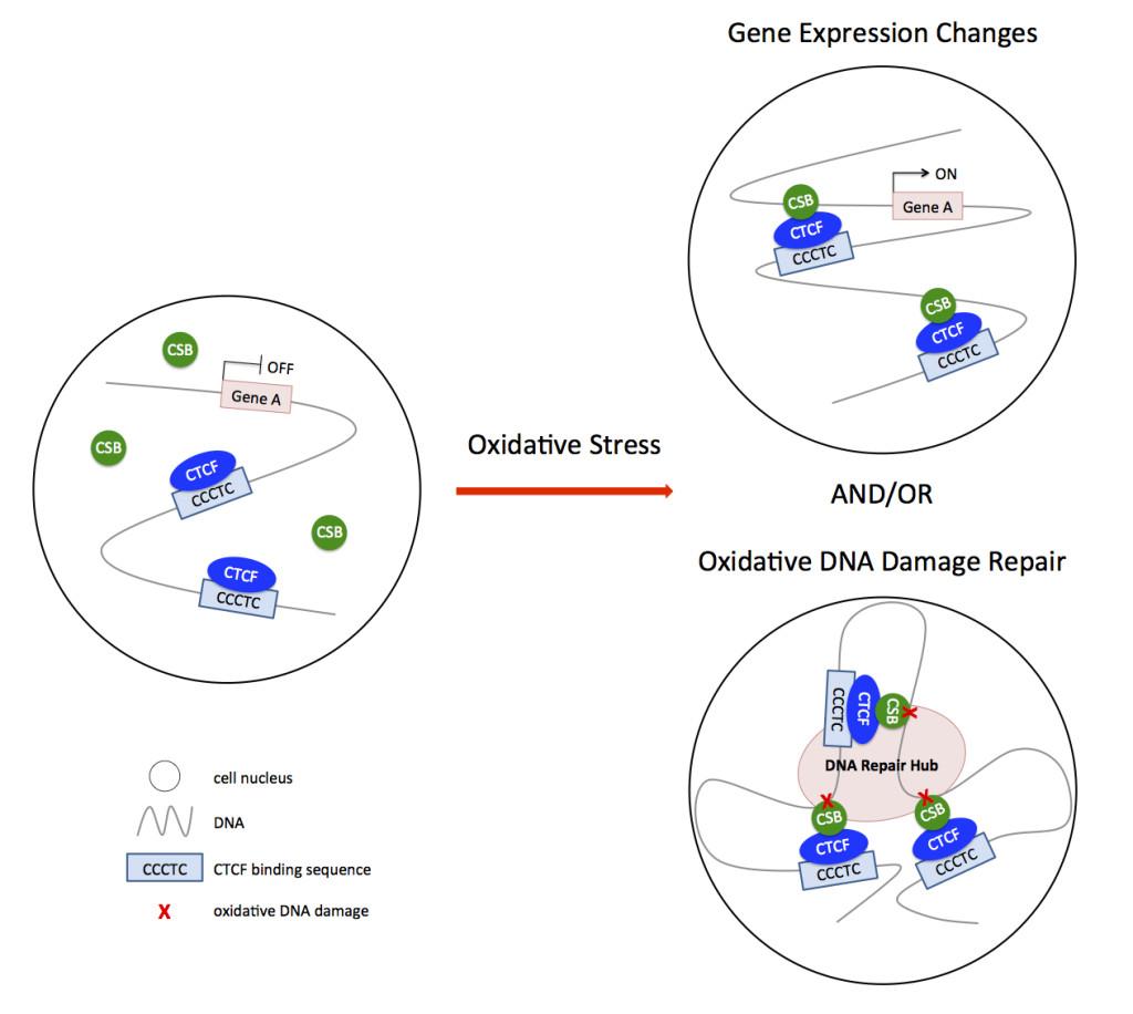DNA, oxidative stress.