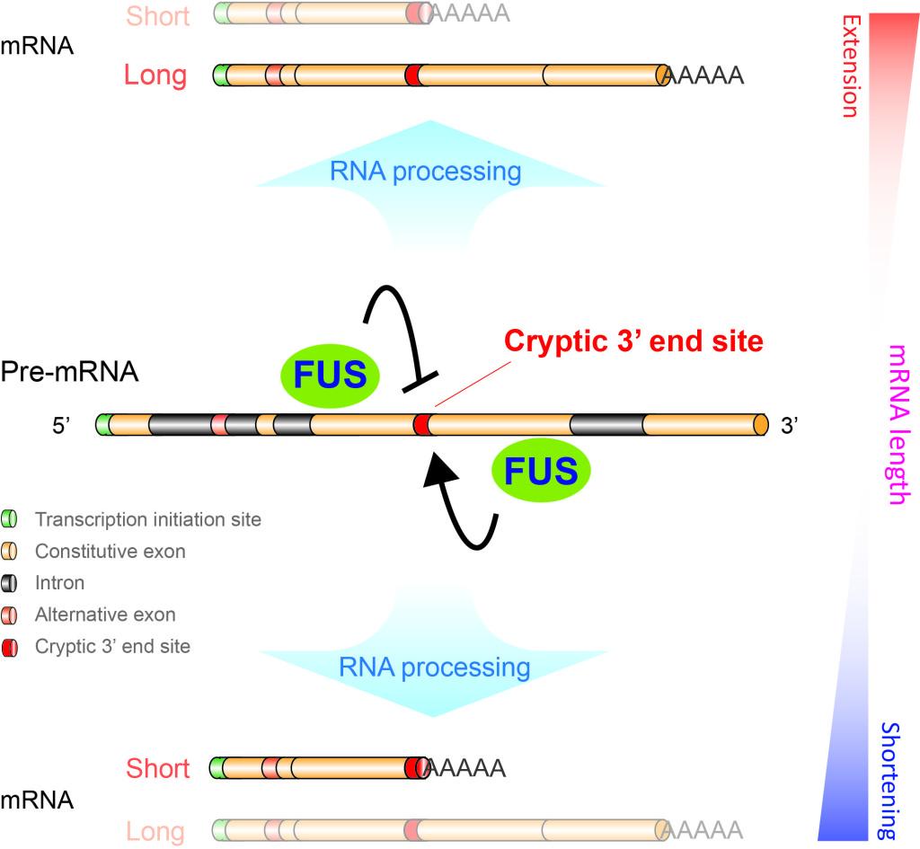 mRNA length