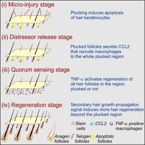 Molecular Basis of Quorum-Sensing Behavior during the Activation of Hair Stem Cells in the Follicle Population