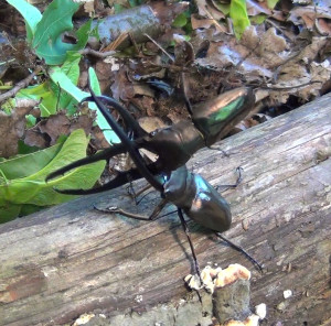 Fig. 1. Fighting male stag beetles.
