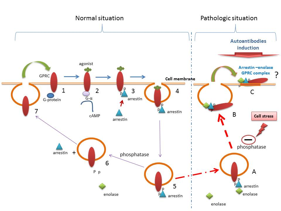 A schema to describe pathologic events influences by arrestin-enolase  complex. In normal situation, following agonist association/interaction  with GPCRs ...
