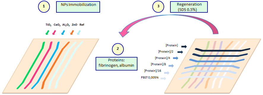 Fig. 2. Workflow for the kinetic analysis of fibrinogen and albumin with immobilized NPs on a sensor chip: (1) The TiO2, CeO2, Al2O3 and ZnO NPs were immobilized in four vertical channels, leaving the fifth as a reference channel; (2) Five different protein concentrations (fibrinogen or albumin) and buffer were injected into the six horizontal or analyte channels and kinetic data were collected; (3) The proteins were stripped from the NPs and SDS was used as a regeneration agent.
