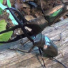 Evolution of diverse and bizarre stag beetle weapons