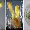 Surface-enhanced Raman spectroscopy of genomic DNA from in vitro grown tomato